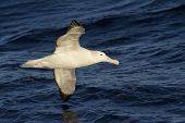 picture of albatross  - wandering albatross hovering over the waters of the Atlantic Ocean