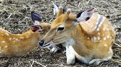 Female Of Sika Deer With Kid.