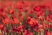 A field full of red poppies