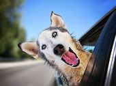 a funny husky wolf mix with her head out of a car window