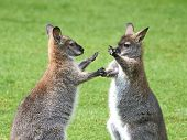 image of wallaby  - Red - JPG