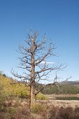 Dead Ponderosa Pine