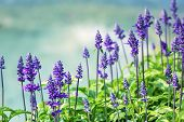 picture of purple sage  - Meadow with blooming Blue Salvia herbal flowers - JPG
