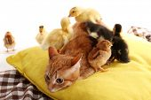 Red cat with cute ducklings and chickens on yellow pillow close up