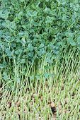 image of snow peas  - Seedlings of pea seeds Snow pea sprouts Toumyou China - JPG