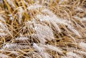 pic of pampas grass  - pampa grass in winter with ice corns in the head - JPG