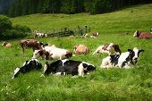 image of south tyrol  - cattle in south tyrol on green grass - JPG