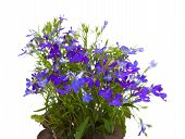 pic of lobelia  - small dark blue lobelia flowers isolated on white