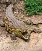 Portrait Of A Big Crocodile