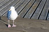 Closeup Of Herring Gull, Larus Argentatus Walking