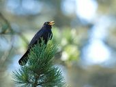Common blackbird (turdus merula) singing