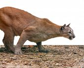 Creeping Cougar, Predatory