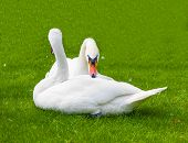 Two Swans In The Nature Of Life