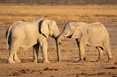 Two large African elephant (Loxodonta africana) bulls, Etosha National Park, Namibia