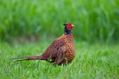 stock photo of pheasant  - Photo of male pheasant in a grass - JPG