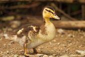 Baby Grey Duck