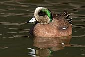 Wigeon Drake Swimming