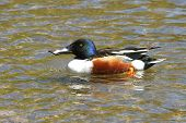 Northern Shoveler Duck Male