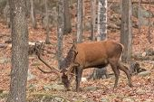 A large elk in the woods