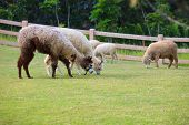 picture of alpaca  - folk of llama alpacas latin america cattle feeding in farm grass field - JPG