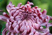 foto of chrysanthemum  - Chrysanthemum flower - JPG