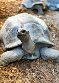 Inquisitive Giant Tortoise raising up to look at the camera on Aldabra atoll in the Seychelles
