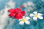 Plumeria and Hibiscus Flowers Floating on Surface of Clear Water