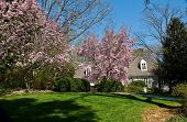 foto of japanese magnolia  - A nice house behind a fresh mown lawn and blooming japanese magnolias - JPG