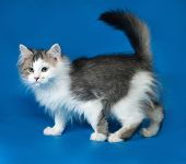 Fluffy Little White Kitten With Spots Standing On Blue
