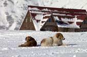 Two Dogs Rest On Snow Near Hotel