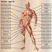image of male body anatomy  - Vector concept or conceptual 3D male or human anatomy - JPG