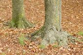 Tree Trunk Bases With Fallen Leaves In Fall