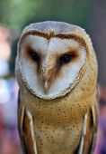 Portrait of Barn Owl rests on a fence post