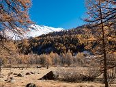 Larch forest and snowy mountain in fall - Val Ferret, Courmayer, Val d'Aosta, Italy, Europe.