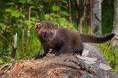 Young Fisher (martes Pennanti) Looks Forward From Atop Log