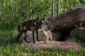 pic of lupus  - Black Wolf (Canis lupus) Watches While Pup Shakes Off - captive animals ** Note: Shallow depth of field - JPG
