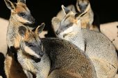 picture of wallabies  - Group of Australian wallabies in the sunshine - JPG