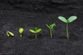 stock photo of germination  - Sequence of seed germination on soil - JPG