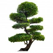Green bonsai tree isolated on white background. Japanese culture symbol