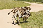 Zebras In The Road