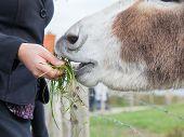 Woman Feeding A Donkey