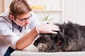 Vet Examines The Dog's Ears In The Office