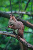 Eurasian red squirrel in forest reserve Krasnoyarsk pillars