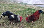 image of fighting-rooster  - fight of cocks in Abkhazia in village near border with Russia - JPG