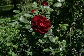 Close Up Of A Red Rose On Bush