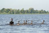 picture of black swan  - Swimming black mute swans in lake - JPG