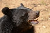 picture of species  - Black Bear is dangerous species in forest thailand and it live everwherer in forest v - JPG