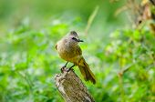 picture of bulbul  - white throated bulbul sitting on the tree thailand - JPG