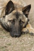 picture of sad dog  - sad dog lies on the dry grass resting his head on his feet - JPG