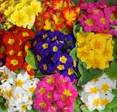 picture of primrose  - Background of Beauty Multi - JPG